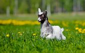stock photo of baby goat  - white and black goat kid outdoors in summer - JPG