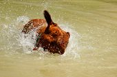 pic of dogue de bordeaux  - Dogue de Bordeaux in the water shaking his head - JPG