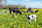 stock photo of calves  - Meadow full of many dandelions with grazing cows and newborn calves - JPG