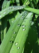 foto of raindrops  - blades of grass covered with many raindrops - JPG