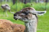 picture of lamas  - Portrait of an adult Guanaco  - JPG