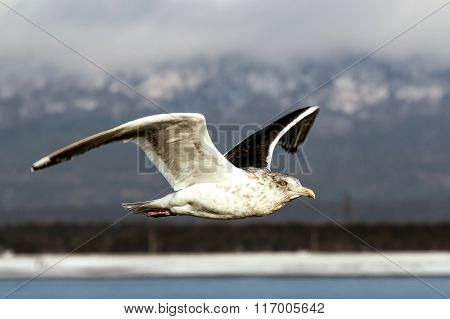 Seagull flying against the shore