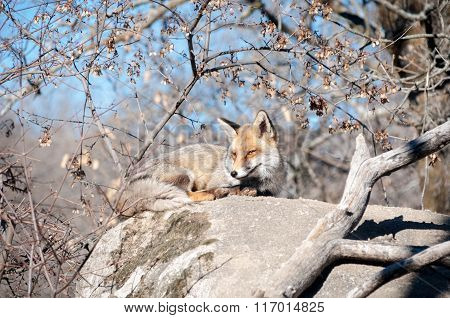 Fox Lying On A Rock Resting Under The Hot Sun - 4