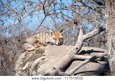 Fox Lying On A Rock Resting Under The Hot Sun - 6