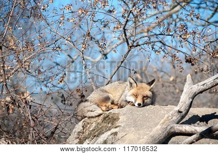 Fox Lying On A Rock Resting Under The Hot Sun - 10