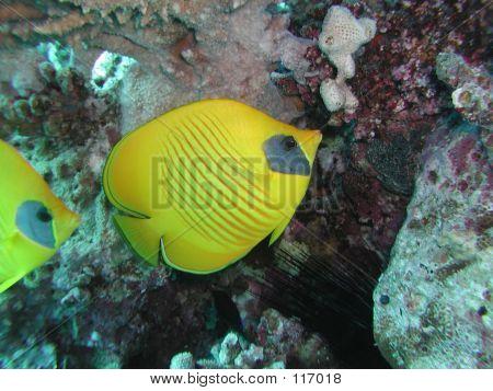 Golden Butterflyfish 2