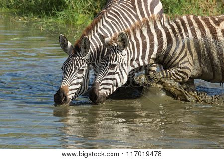Plains, Zebra Drinking From The Seronera River, Serengeti, Tanzania