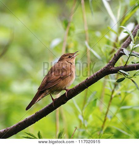 Singing Male Of The  River Warbler(locustella Fluviatilis) In Spring, Russia