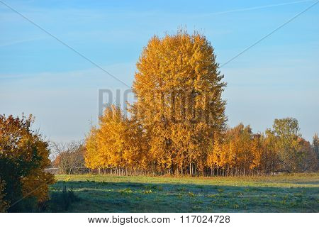Yellow trees In The Field In Autumn