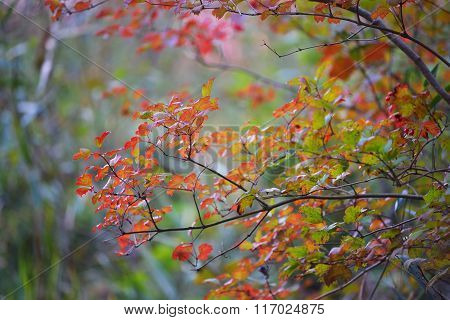 Red Autumn Leaves Close-up
