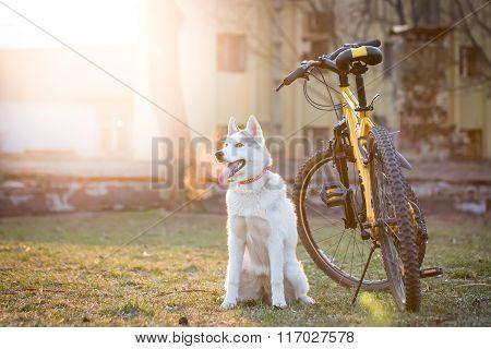 Grey Husky Sitting Near The Bike