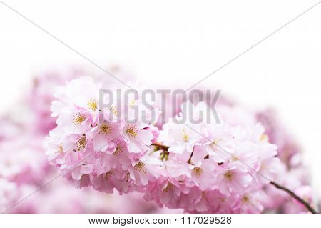 Vibrant spring background with beautiful pink cherry blossom, Sakura flowers