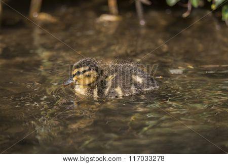 Mallard Duckling, Swimming In Down A Small River