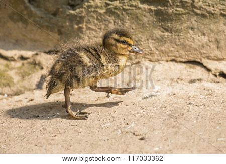 Mallard Duckling, Walking Beside A Small River