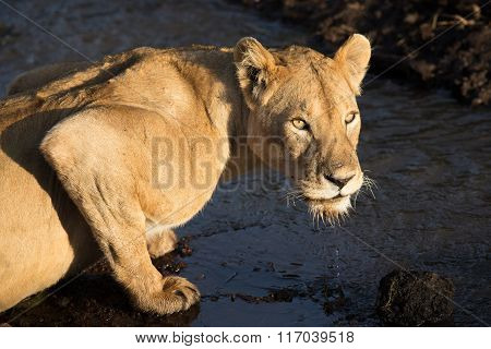 Adult Lioness Drinking Water From A Stream In The Ngorongoro Crater In Tanzania