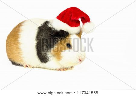 Guinea Pig In A Red Hat With A White Pompom.