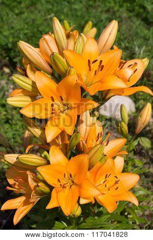 Orange Lily In The Sun .