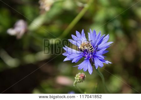 Bee Sits On The Cornflower .