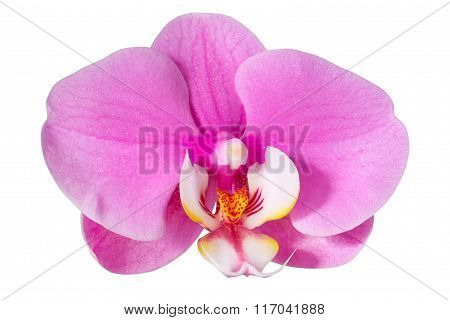 Pink Orchid, Isolated