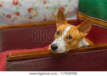 Basenji dog having rest on an old shabby chair