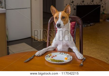 Basenji is waiting for master-waiter would offer next course for the lunch