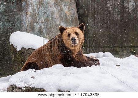 Eurasian Brown Bear  On The Snow Background