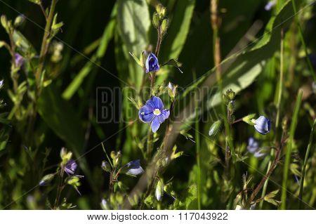 Blue flowers of speedwell