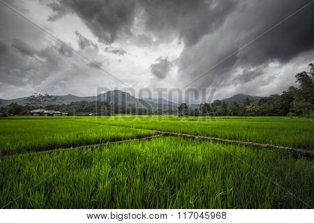 Rice fields on the island of Flores, Indonesia
