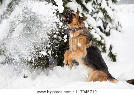 German Shepherd running in winter