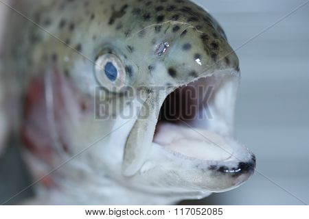 Fresh rainbow trout opened its mouth.