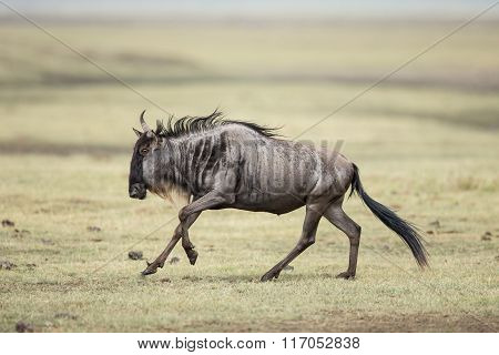 One White Bearded Wildebeest Running In The Ngorongoro Crater, Tanzania