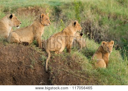 Pride Of African Lions In The Ngorongoro Crater, Tanzania
