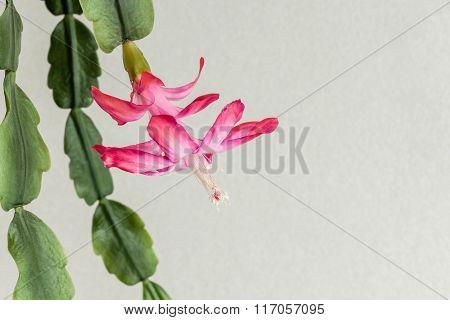 Christmas Cactus (schlumbergera Russelliana) Full Flower