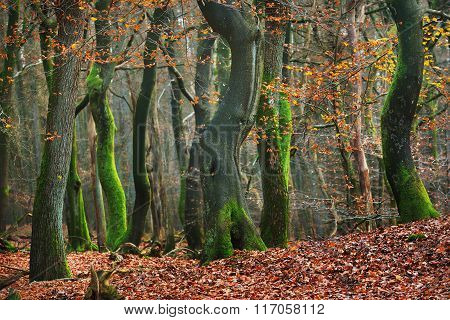Autumn beech forest with trees covered with green moss in Veluwe, the Netherlands