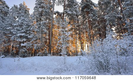 Winter Wonderland In A Snowy Pine Forest Illuminated With Yellow Sunrise