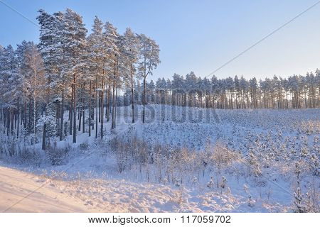 Young Pine Forest Covered In Snow During Hoar Frost