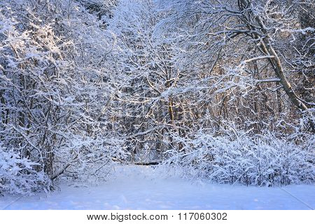 Winter Wonderland In A Deciduous Forest At Sunset