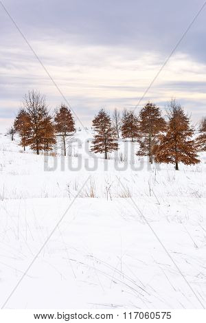 Colorful Oak Trees in Snow Covered Field