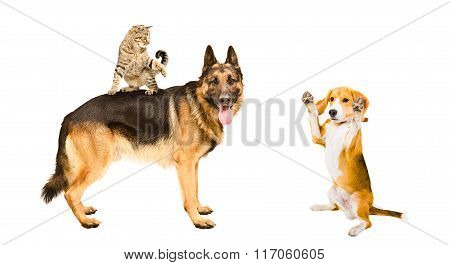 German shepherd, cat and Beagle dog playing together