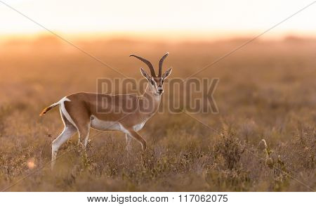 Adult Male Grant's Gazelle In The Serengeti, Tanzania