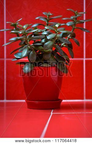 Money tree (crassula) in red flowerpot on red background