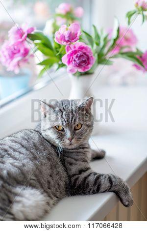 British Cat Breed