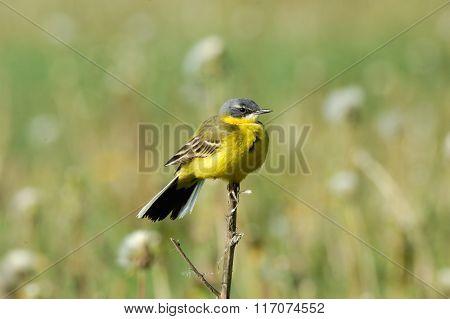 Perching Yellow Wagtail