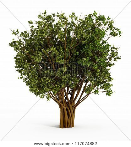 Big isolated tree