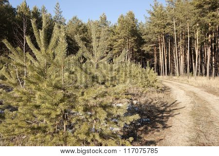 Young Pine Forest Next To The Road