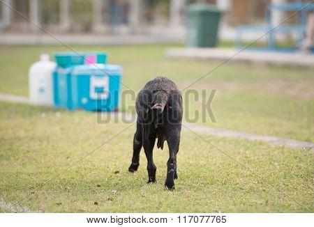 Behind Old Black Dog Walking In Stadium