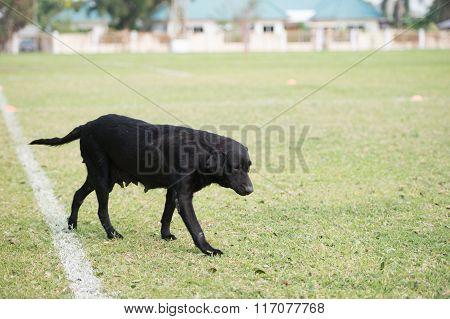 The Old Black Dog Walking In Stadium
