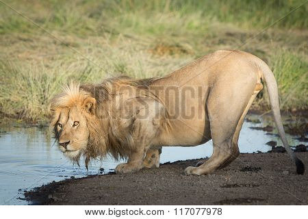 One Male African Lion Drinking Water, Serengeti, Ndutu, Tanzania
