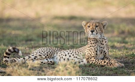 One Sub Adult Cheetah Lying Down Alert, Ndutu, Serengeti, Tanzania