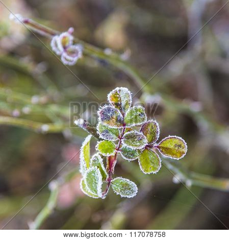 Rose Leaves In Frost With Ice
